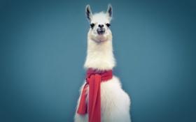 Обои синий, фон, шарф, лама
