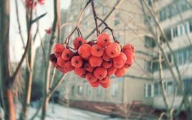 Обои рябина, зима, ягоды