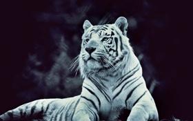 Картинка красавчик, полоски, тигр