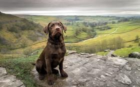 Картинка puppy, dog, labrabor