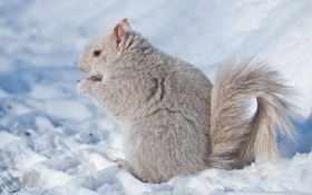Картинка зима, снег, белка, седая