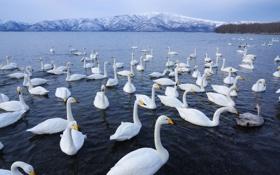 Обои вода, горы, птицы, стая, горизонт, белых, лебедей
