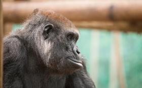 Обои взгляд, фон, Gorilla
