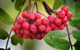 Обои листья, рябина, осень, природа, ягоды