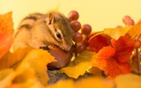 Обои осень, листья, ягоды, веточка, орех, бурундук, autumn
