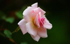 Обои макро, зеленый, розовый, роза, листочки
