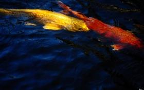 Обои вода, рыбы, пруд, карпы, золотые