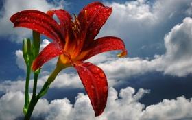 Картинка цветок, небо, облака, капли, роса, лилия, лепестки