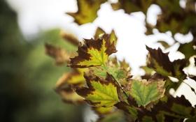 Обои листья, природа, фон