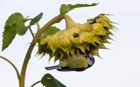Обои природа, птица, подсолнух