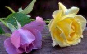 Картинка нежность, розы, доска