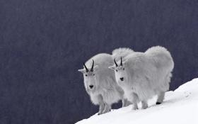 Обои снежные бараны, снег, синий фон