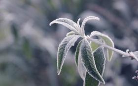 Обои холод, иней, листья, растение, ветка