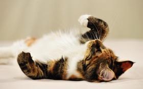 Обои кошка, кот, нежность, красота, котэ