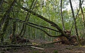 Обои зелень, лес, деревья, корни, стволы