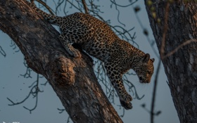 Обои хищник, лапы, пятна, леопард, дикая кошка, молодой