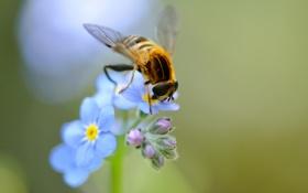 Обои цветы, пчела, крылья, голубые, насекомое, полевые, незабудки