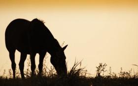 Обои закат, силуэт, конь