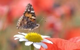 Обои макро, пыльца, бабочка, ромашка