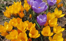 Обои Много, Цветы, Крокусы, фото