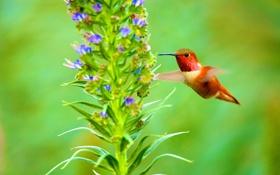 Обои природа, птица, клюв, колибри, цветок