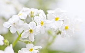 Картинка капли, белые, природа, незабудки, ветка, макро, цветы