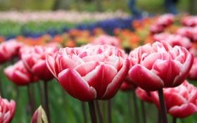 Обои макро, цветы, поляна, весна, лепестки, тюльпаны, красные