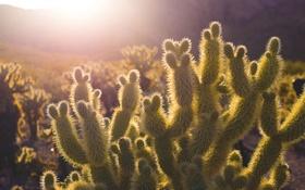 Картинка свет, иголки, пустыня, кактус, солнечный