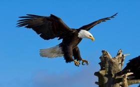 Обои небо, полет, орел, крылья, орлан