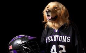 Обои собака, шлем, форма