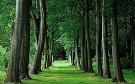 Обои зелень, лето, деревья, природа, аллея