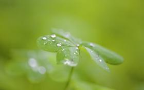 Обои зелень, капли, макро, природа, лист, роса, резной
