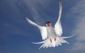 Обои птица, перья, Полярная крачка