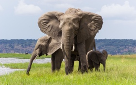 Обои природа, семья, слоны, бивни