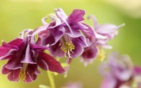 Обои цветы, фон, размытость, бордовые