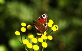 Обои цветок, растение, желтый, природа, бабочка, макро