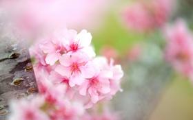 Обои цветы, дерево, фокус, ствол, яблоня, цветение