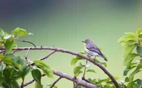 Картинка птица, листва, ветка, Yellow-rumped Warbler (Dendroica coronata)