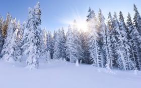 Обои зима, лес, солнце, лучи, ёлки