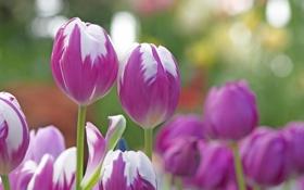 Обои природа, лепестки, сад, стебель, тюльпаны