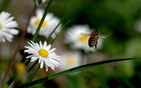 Картинка цветы, природа, пчела, ромашки