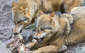 Картинка пара, клыки, оскал, мясо, волки, ©Tambako The Jaguar