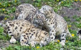 Картинка кошка, трава, ирбис, снежный барс, одуванчики, трио, ©Tambako The Jaguar
