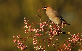 Картинка ягоды, птица, еда, ветка, свиристель