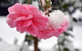 Картинка розы, стебель, зима, снег, холод, лепестки, цветы