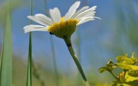 Обои природа, Цветы, растения, ромашка