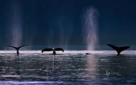 Обои море, брызги, океан, Аляска, США, плавник, горбатые киты