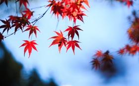Картинка осень, небо, листья, красные, клен