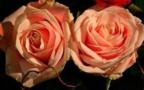 Обои макро, розы, дуэт, бутоны
