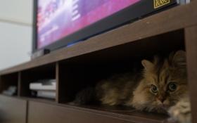 Обои кошка, лежа, Daisy, Ben Torode, Benjamin Torode, полка. телевизор